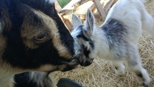 backyard goats lady loves baby link